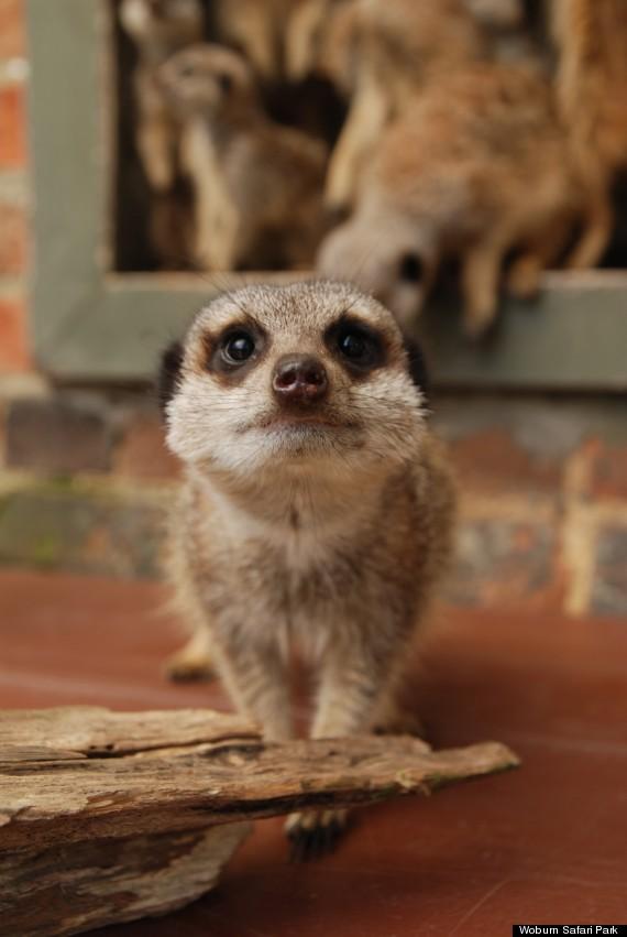 meerkat woburn safari park 1