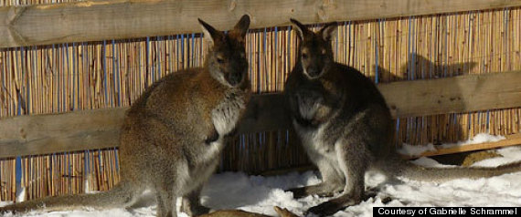 Missing Wallabies