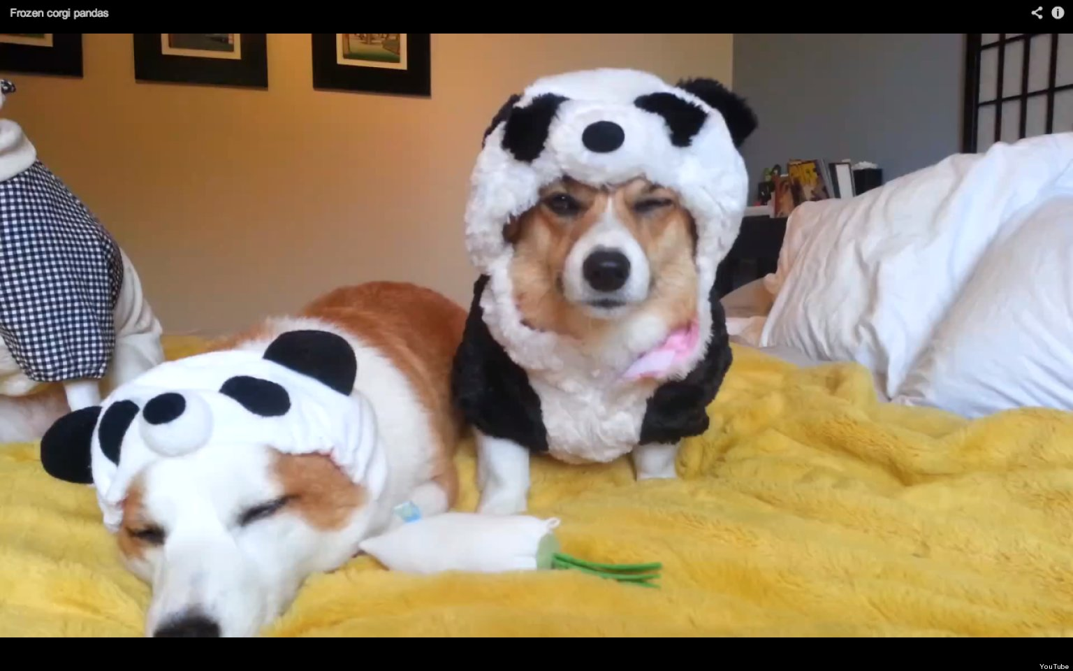 Panda Costume Cat Corgis in Panda Costumes Look