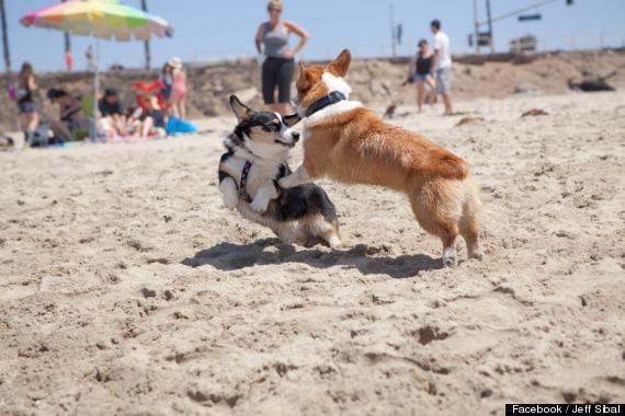 Corgi Beach Day Huntington Beach
