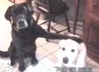 Dog Introduces His Girlfriend To The Parents (VIDEO)