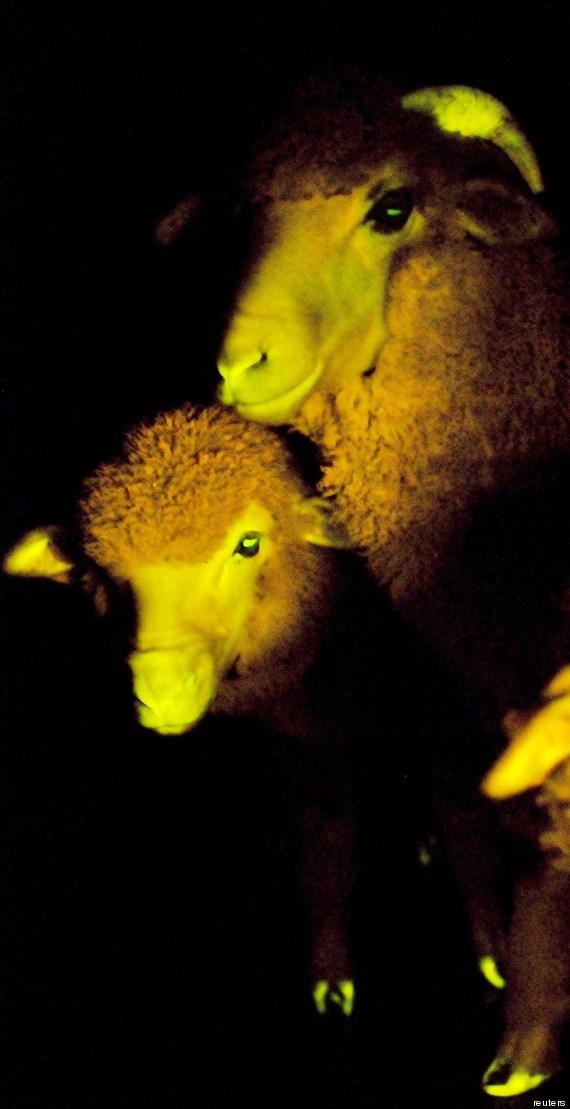 agnello trangenico