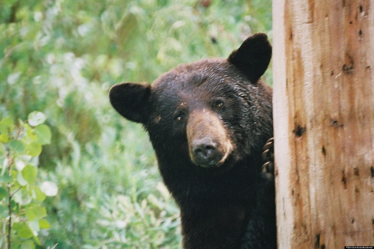 Eastern Black Bear Spotted In Maryland Neighborhood - photo#10