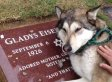 Dog 'Cries' At Grave: 'Wiley Crying Over Grandma' (VIDEO)