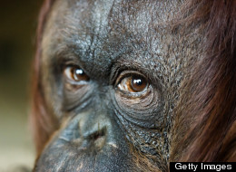 Legal Personhood for Apes