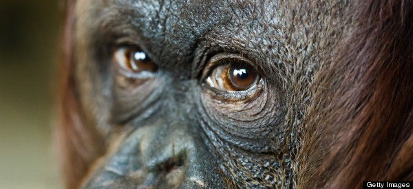 By Legal Means: Protecting Key Orangutan Habitat Through the Courts