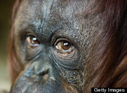 Could Eco-Tourism Save The Great Apes?