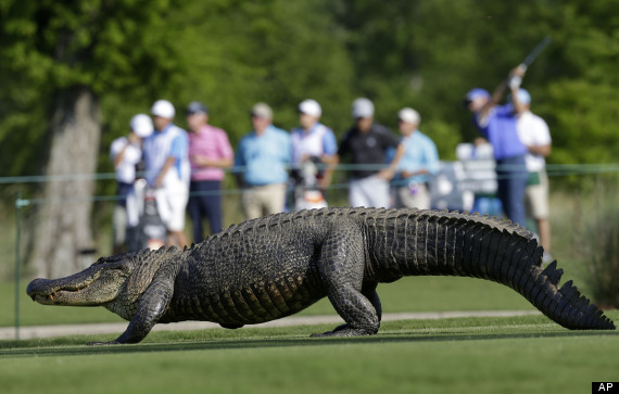 alligator golf course pga zurich