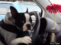 WATCH: Boston Terrier Drives A Car