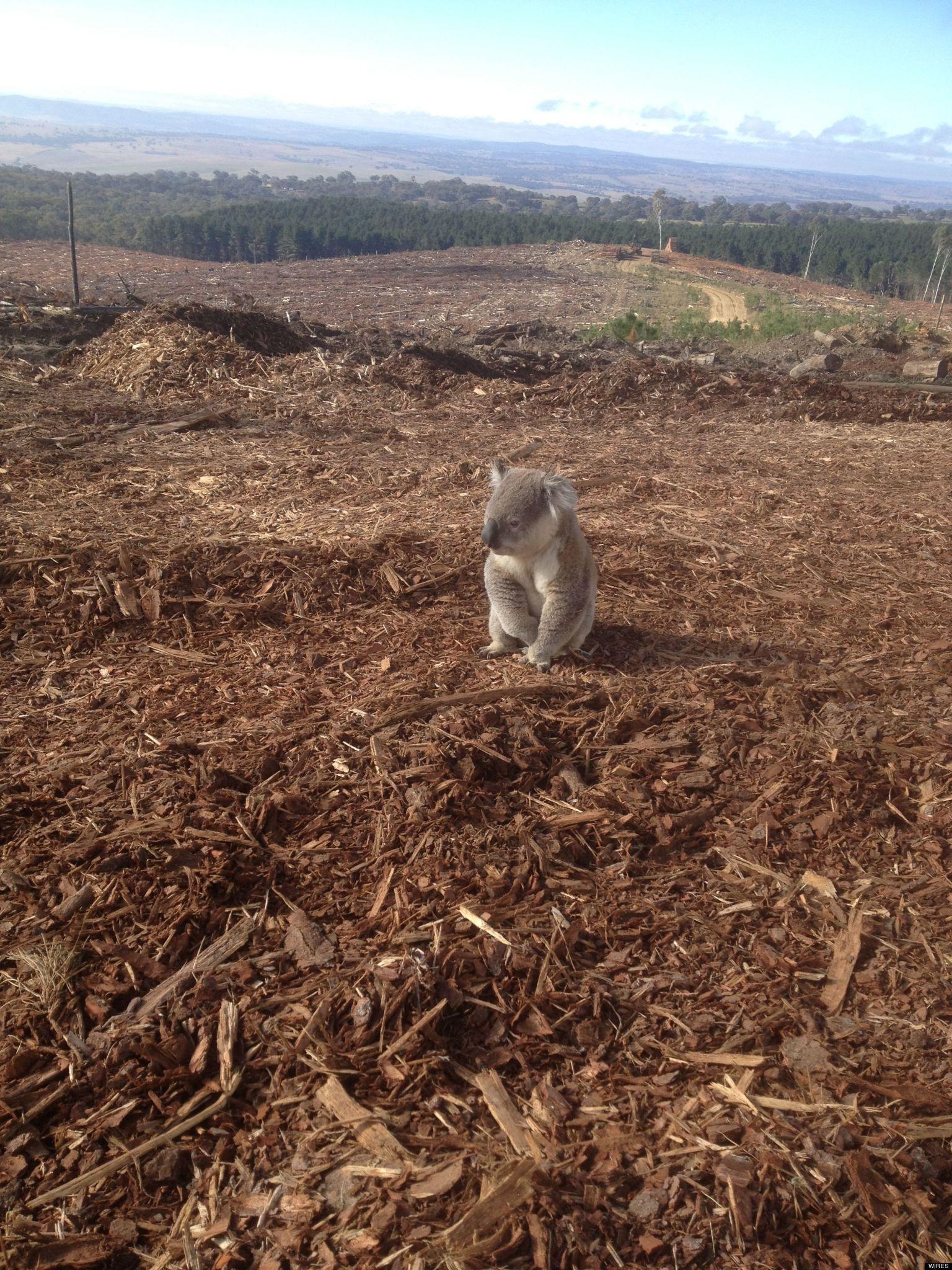 PHOTO. Un koala désorienté après la destruction de son habitat