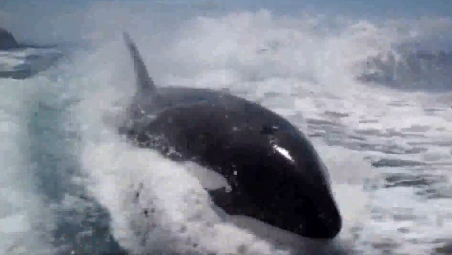 WATCH: Killer Whales Put On INCREDIBLE Show
