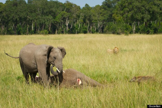 baby elephant mourns dead mother