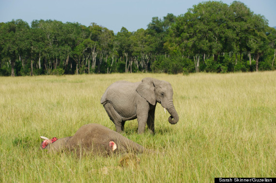 baby elephant mourns refuses to leave dead mother