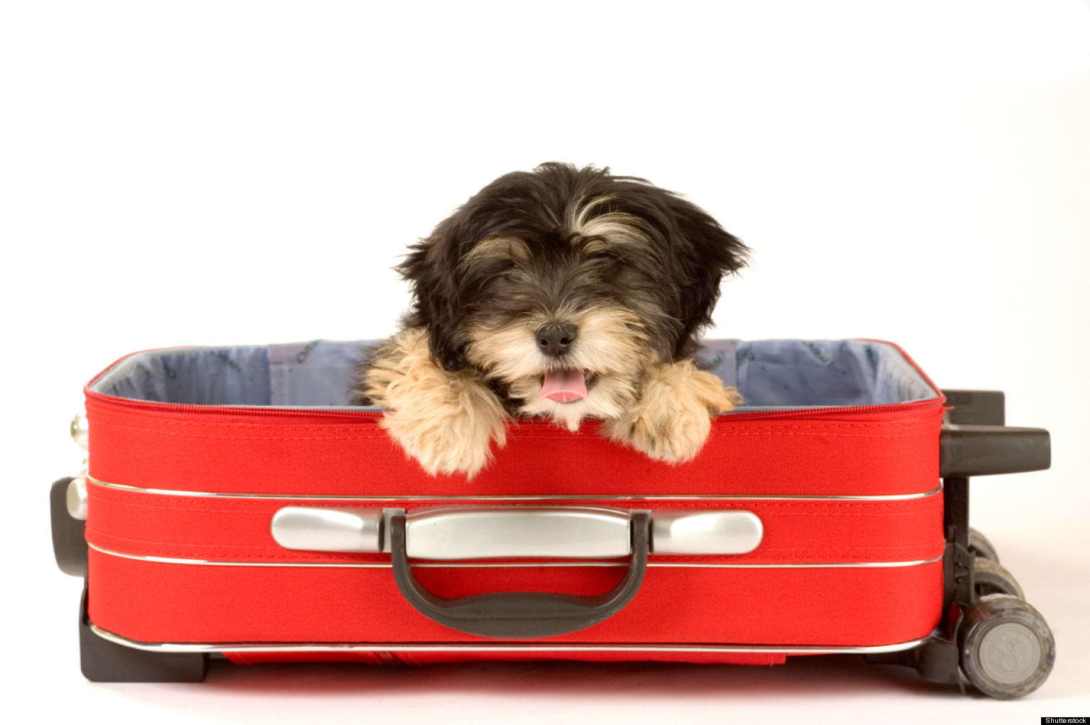 Adorable Dogs Hanging Out In Suitcases Photos