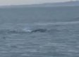 Lough Foyle 'Monster'? Creature Filmed In Ireland Could Be Country's Loch Ness Monster (VIDEO)