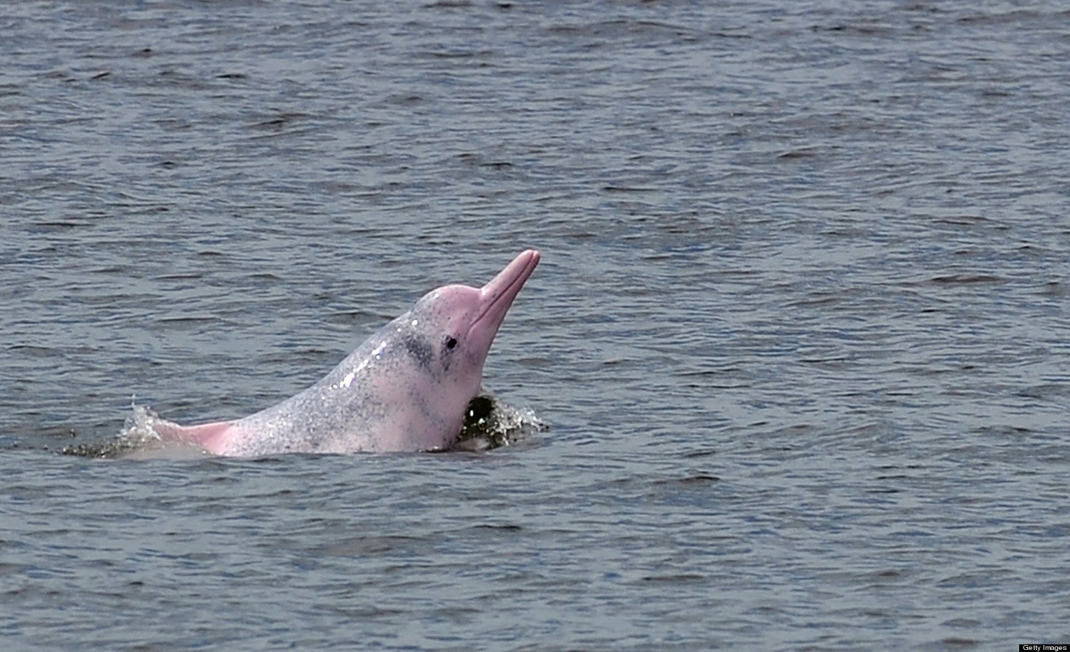 Dolphin With Horn  Pink Dolphins  Because Of
