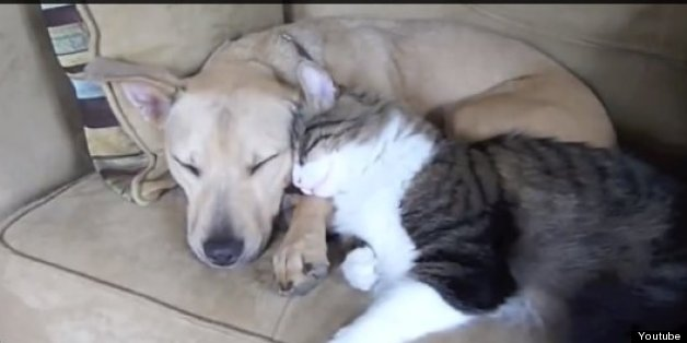 10 Dogs And Cats Cuddling Video Huffpost