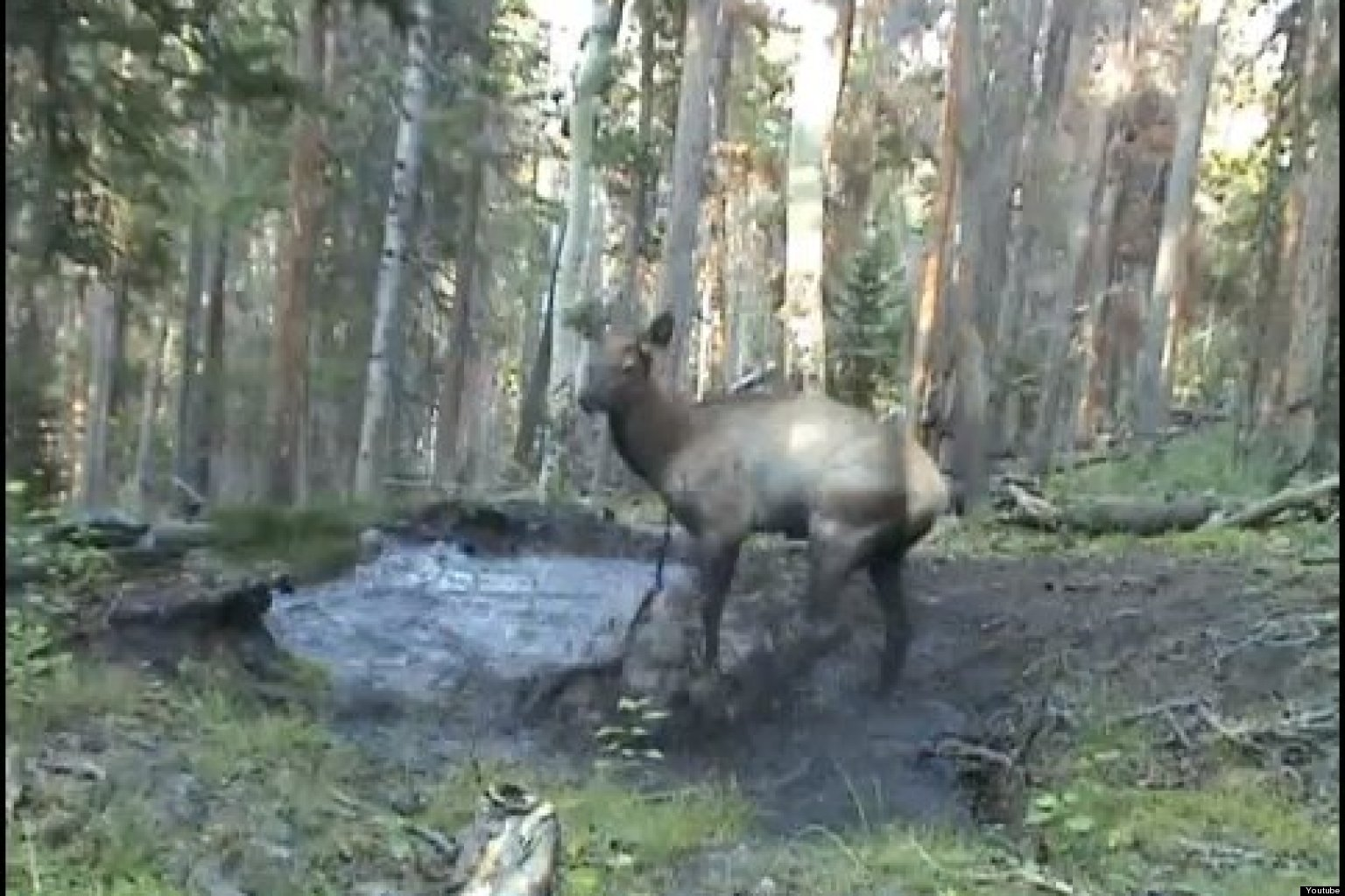 WATCH: Baby Elk Jumping In Puddles Is Pure Happiness