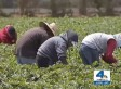Farmworkers Fired For Leaving During California Wildfire (VIDEO)