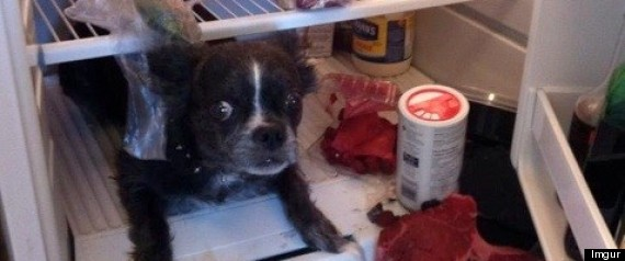 Dog Hiding Refrigerator Steaks