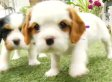 Cavalier King Charles Spaniel Puppies Are The Best Thing (VIDEO)