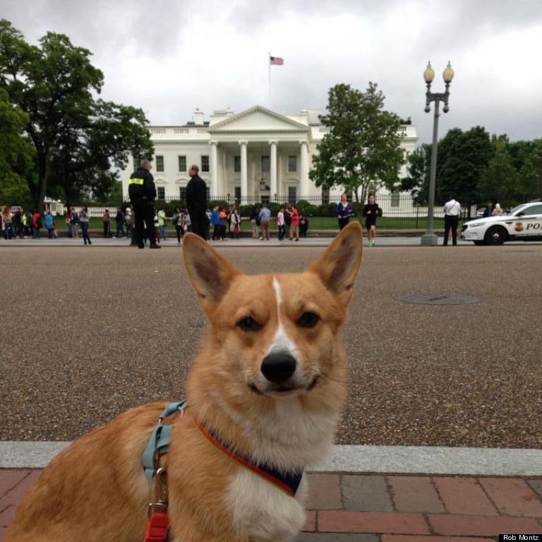 corgi in front of white house