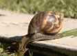 Snails In Texas Have Been Misidentified As Giant African Land Snails: USDA (UPDATE)
