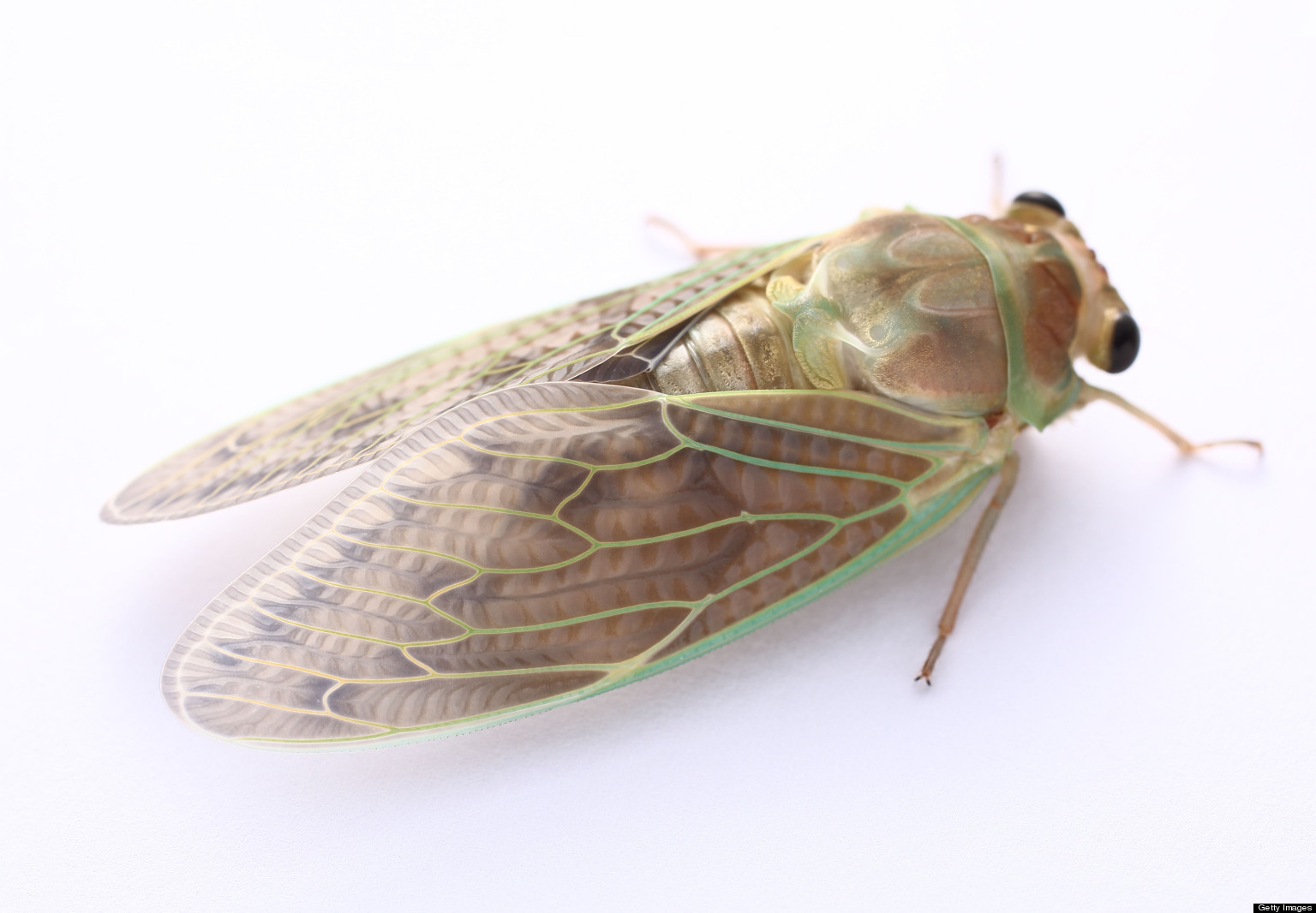 6 Facts About Cicadas – The Sound Amplifier