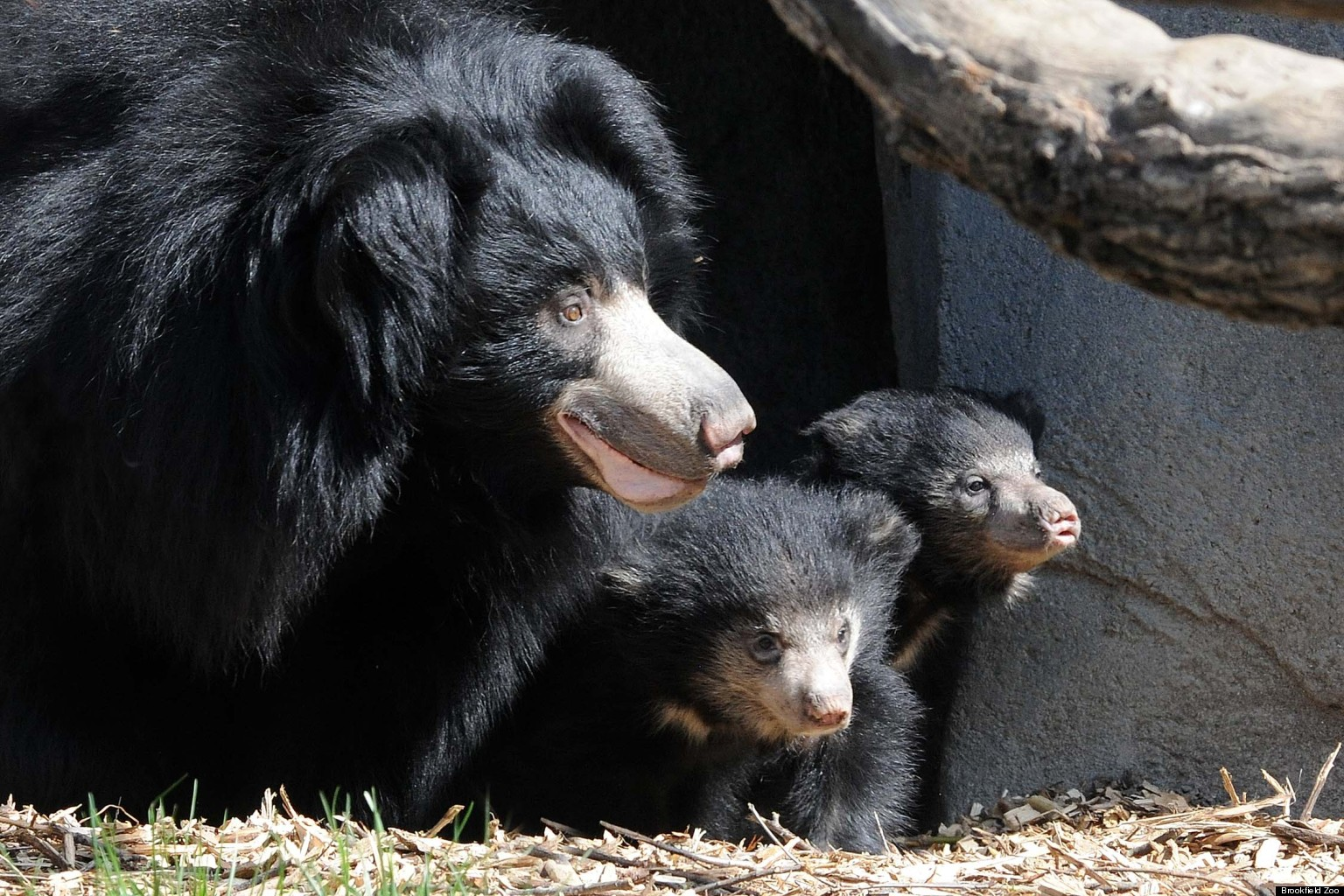 Sloth Bear Cubs At Brookfield Zoo: Mama Hani Welcomes Litter Of Baby Bears (PHOTOS) | HuffPost