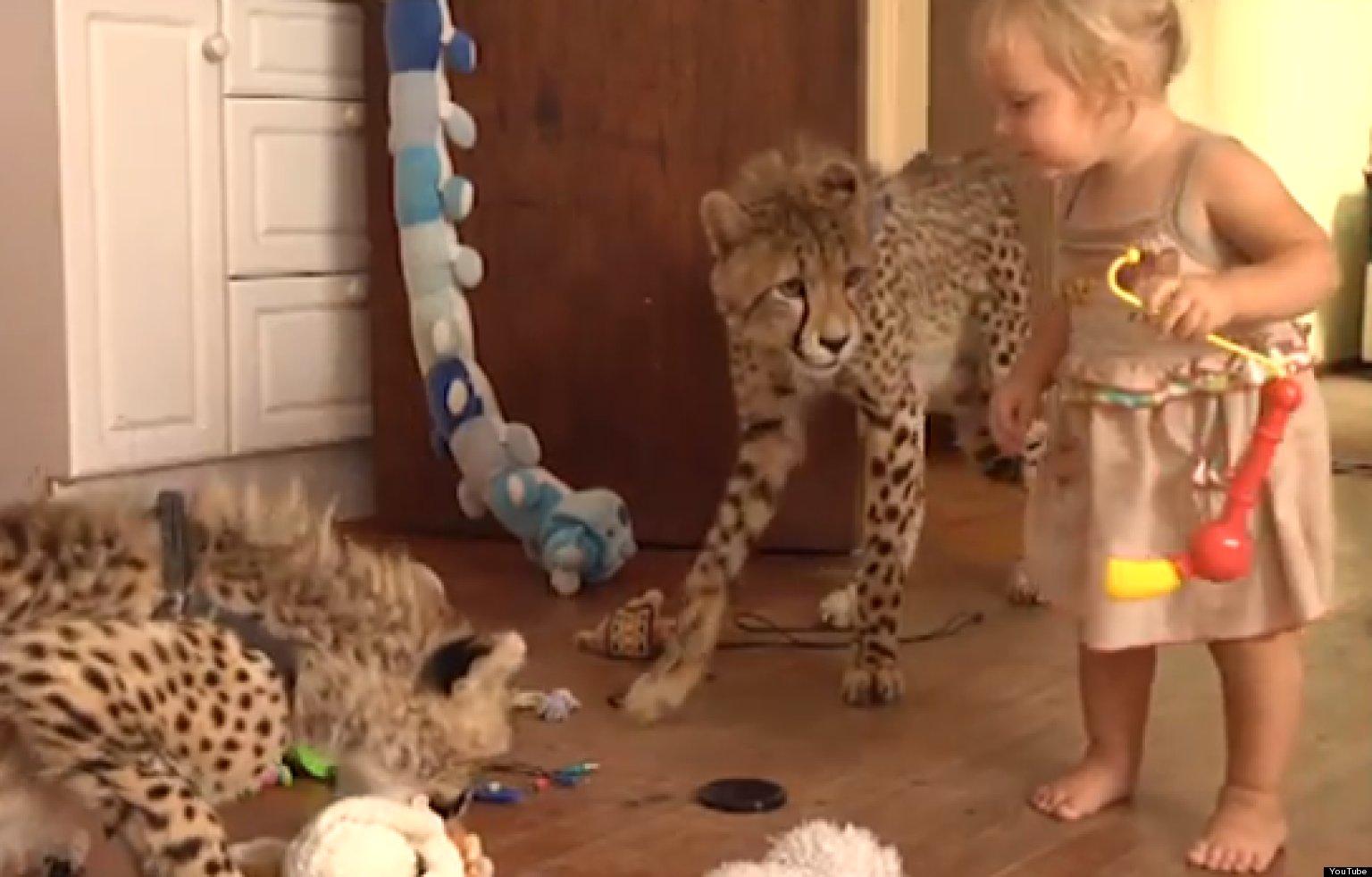 'Cheetah House': Schoeman Family's Pet Cheetahs Live Like ...