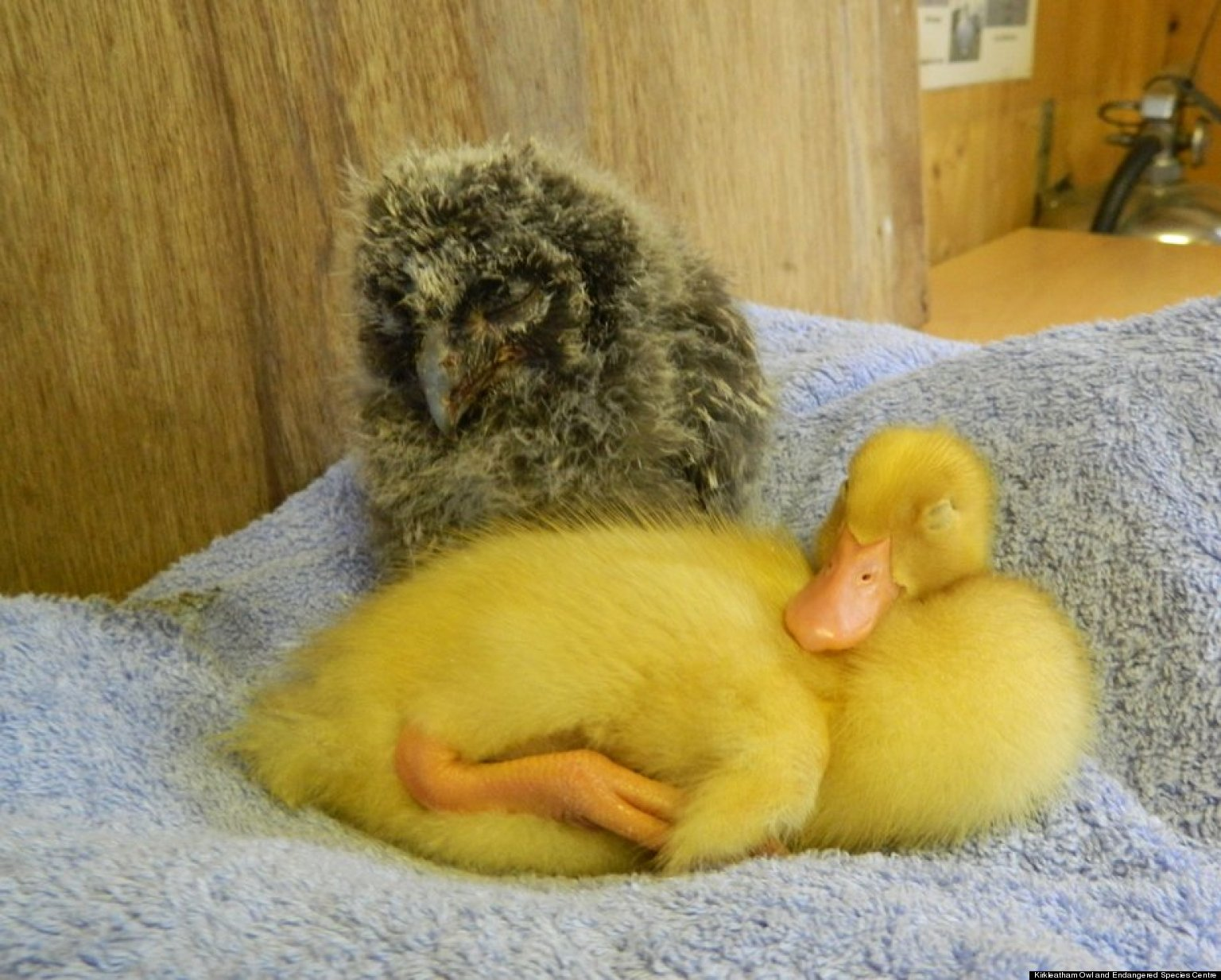 PHOTOS: Baby Owl And Duckling Are Besties