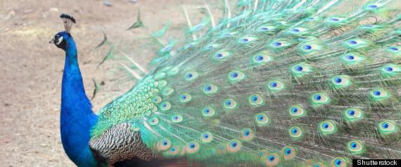 david beckman sexually abused peacock