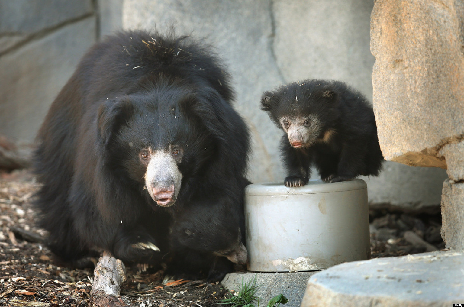 PHOTOS: So That's What A Baby Sloth Bear Looks Like...