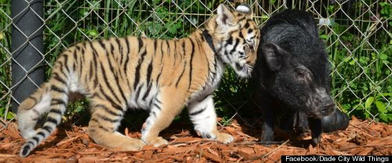 Unlikely animal friends tiger cubs fawn and potbellied pig pal