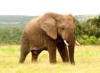 Elephant Tramples Poacher To Death In Zimbabwe: Report