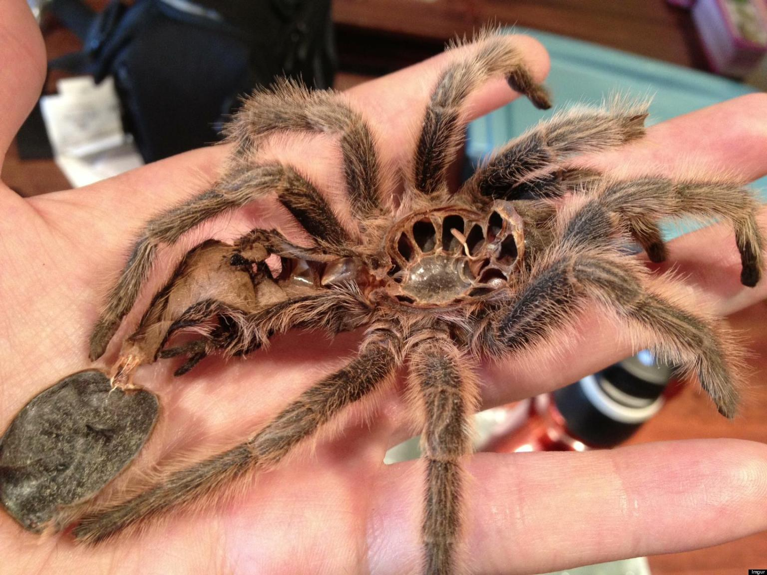 Pet tarantula on face - photo#6