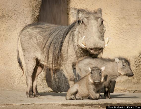 baby warthogs photos detroit zoo