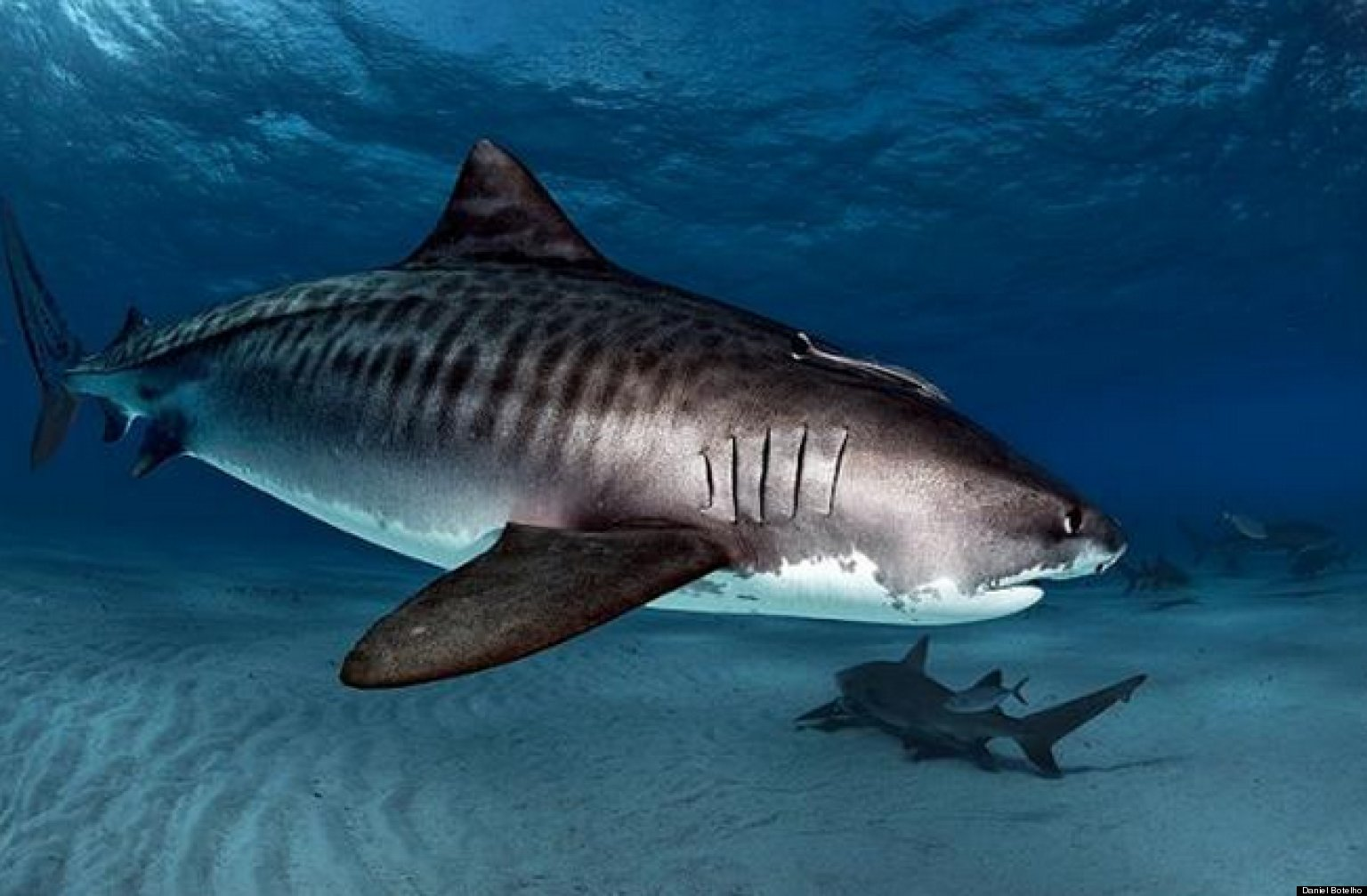 A Big Move for a Small State -- Delaware Bans Shark Fins