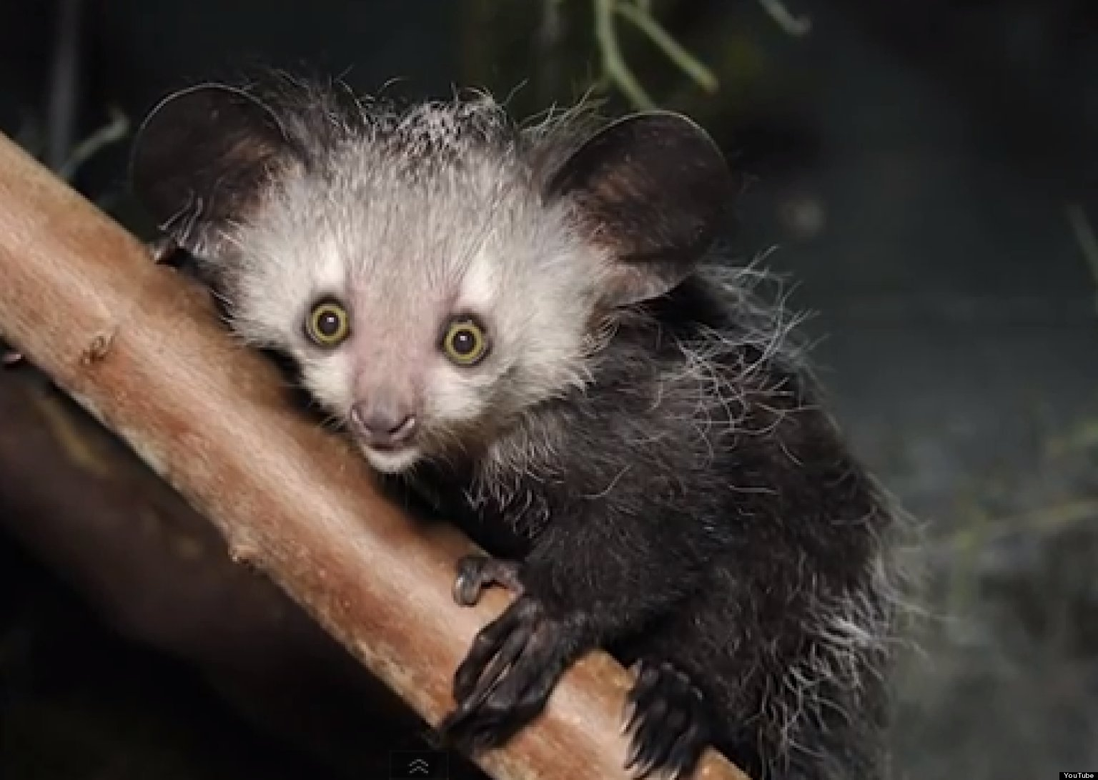 'True Facts About The Aye Aye' Will Give You Adorable ...