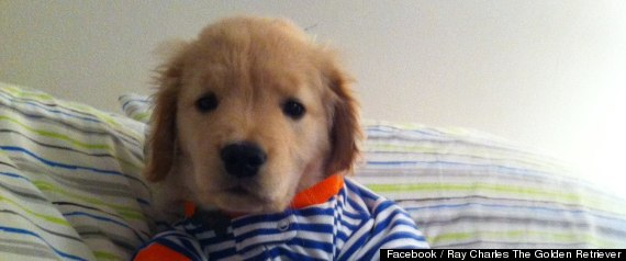 Ray Charles Is The World's Cutest Blind Golden Retriever ...