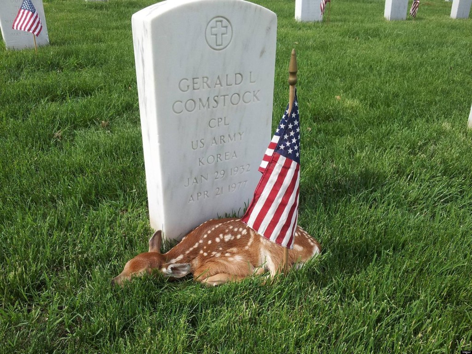 fawn lying by veteran s grave on memorial day is