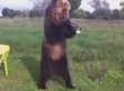 Russian Bear's Tricks Look Oddly Human, Totally Awesome (VIDEO)