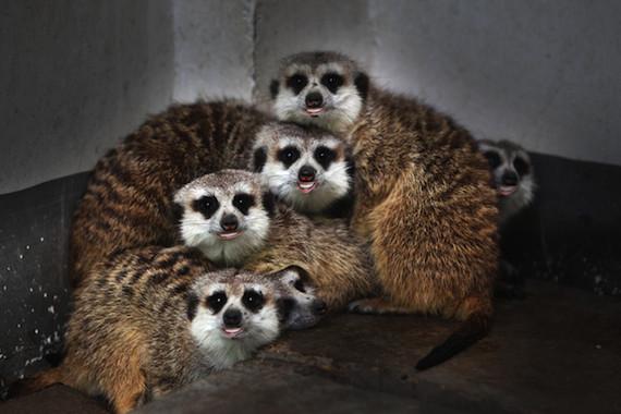 meerkatsbiden