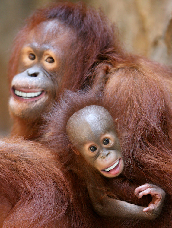 Go Back  gt  Gallery For  gt  Orangutan Smiling TeethOrangutan Smiling Teeth