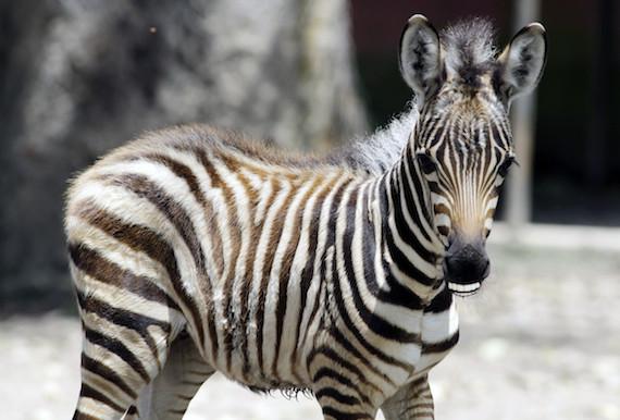 zebrabiden