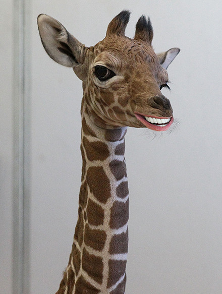 giraffebiden