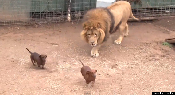 lion dachshunds