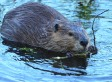 Beaver Kills Fisherman In Belarus; Wildlife Experts Blame Aggressive Behavior For Upsurge In Attacks