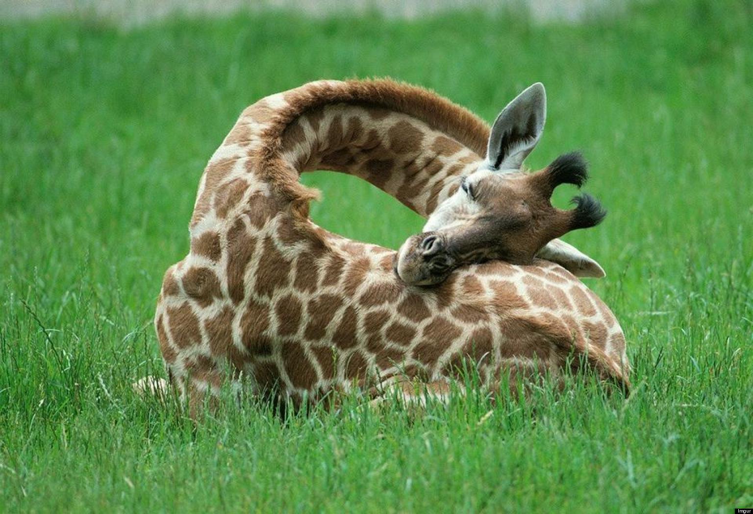 SLEEPING-BABY-GIRAFFE-PHOTOS-facebook.jpg