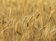 Non-Approved Genetically Modified Wheat Found In Oregon Field, Says USDA